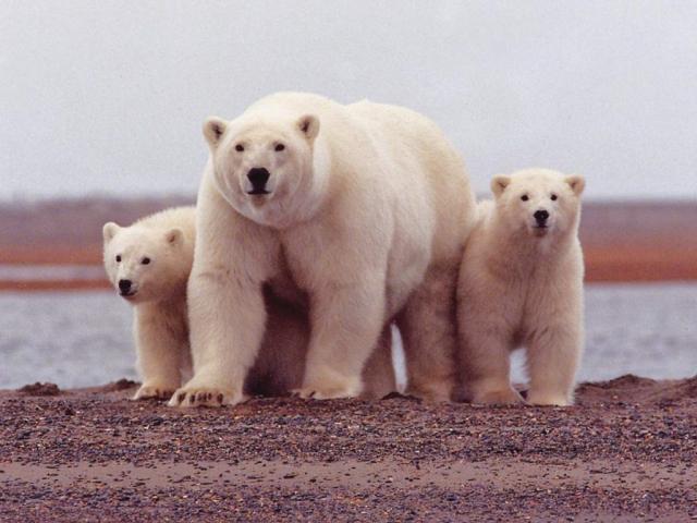 Белые медведи – самые большие хищники на материке.