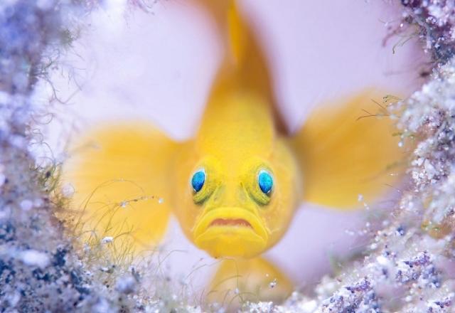 Океанский бычок на защите временного жилища, которое его самка выбрала для кладки яиц. Автор фотографии: (Wayne Jones), Уэйн Джонс, Австралия.