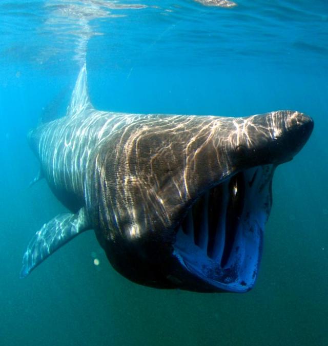 Гигантская акула (Cetorhinus maximus).