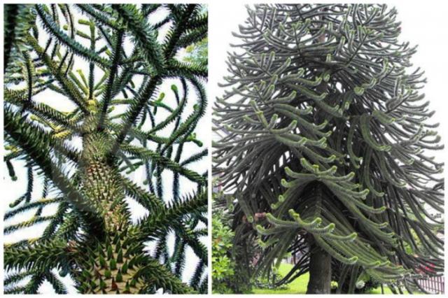 Дерево обладает настолько жесткими и колючими листьями, что птицы не садятся на его ветви.