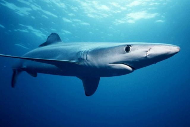 Главный враг акулы - косатка.
