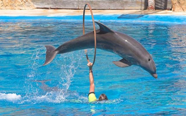 Дельфины прекрасно поддаются дрессировке.