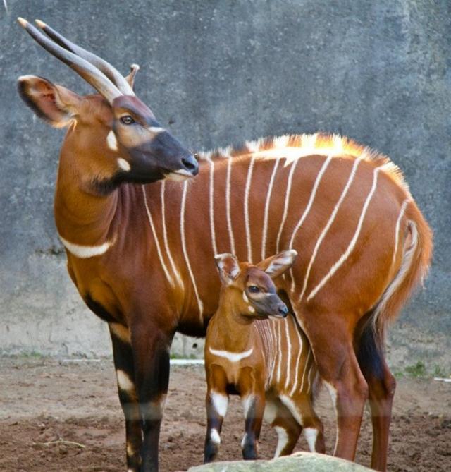 Ярко рыжая представительница парнокопытных с вертикальными бело-желтыми полосами вдоль спины и слегка закрученными рогами в форме лиры.