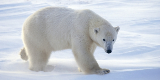 o-POLAR-BEAR-CANADA-facebook (700x350, 46Kb)