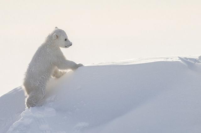 Чрезвычайно активные полярные медвежата играли с мамой-медведицей и исследовали территорию.