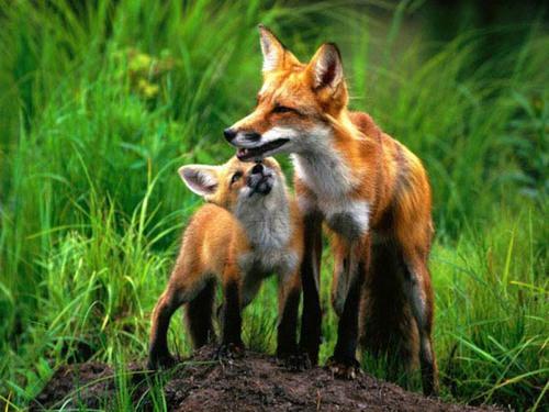лисица и лисенок