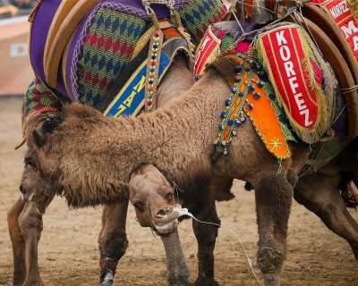 Как в Турции проходят турниры по верблюжьей борьбе. Фото