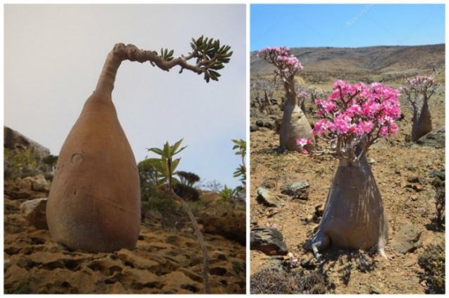 Все части растения ядовиты, причем настолько, что в давние времена им пропитывали наконечники стрел.