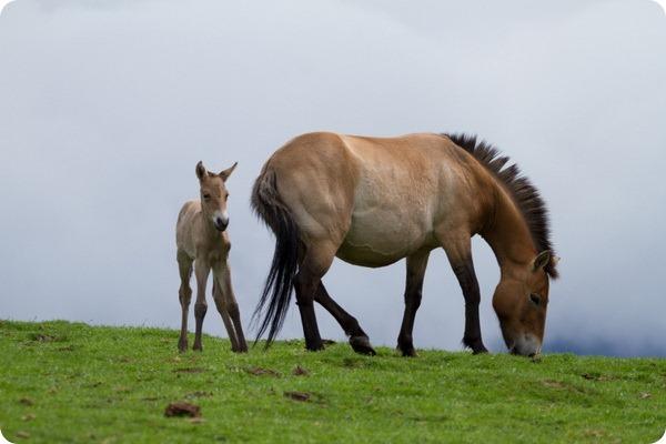 Хайленд Парк представил жеребенка лошади Пржевальского