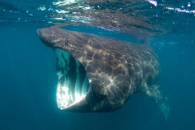 Пасть акулы напоминает гигантскую трубу, в которую засасывает все по пути.