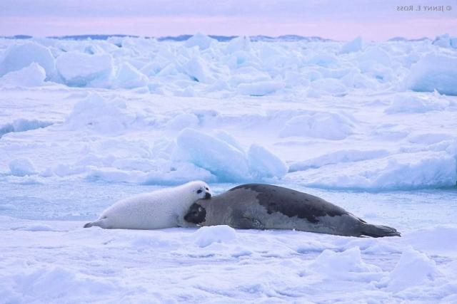 Гренландский тюлень (Pagophilus groenlandicus).