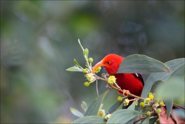Рацион иви состоит из нектара цветов.