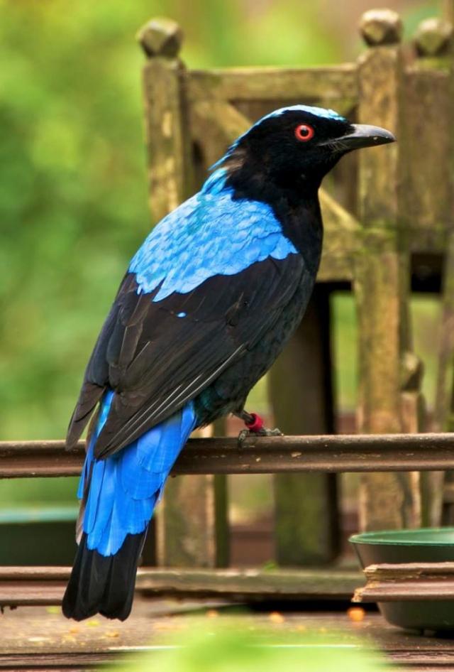 Голубая ирена - азиатская птица.