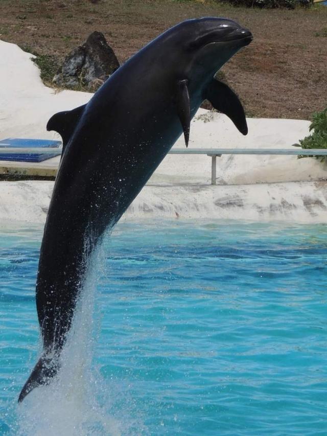 О природе косаткодельфинов известно мало, однако это является поводом для дальнейших исследований невероятных млекопитающих планеты.