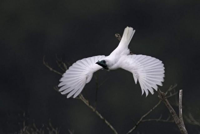 Полет звонаря похож на парение величественно птицы.