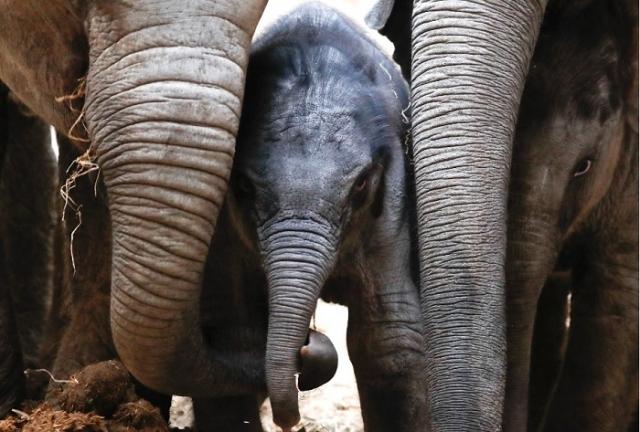 Трогательная фотография семейства слонов из зоопарка Планкендаль в бельгийском городе Мехелен.
