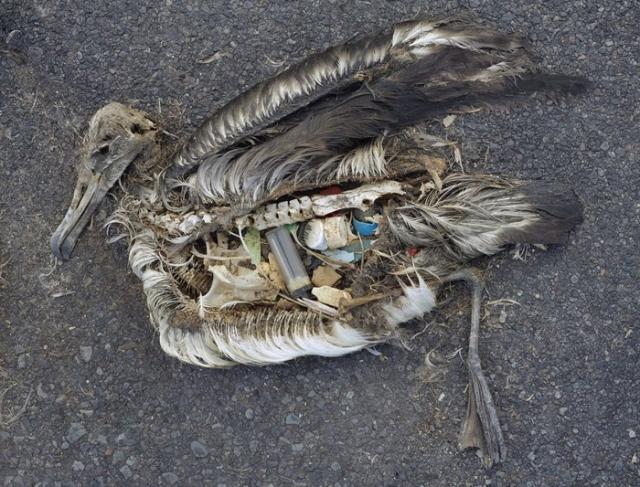 Мертвый альбатрос с желудком, полным пластикового мусора. Сентябрь 2009 г. Фото:  Chris Jordan.