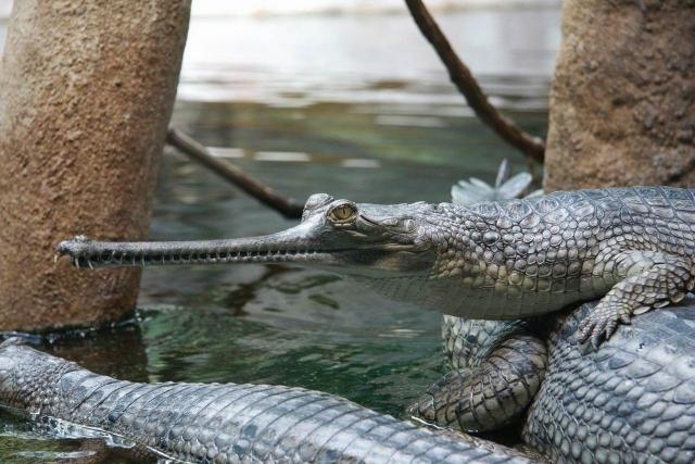 Гавиалам становится не очень уютно в грязных водах Ганга. Это может привести к их исчезновению.