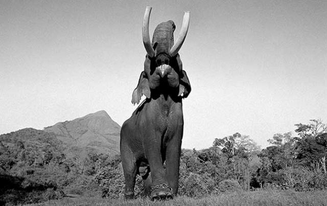 Сложные отношения азиатов со слонами