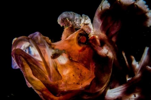 Ринопиас - рыба семейства скорпеновых.  Автор: Susannah H. Snowden-Smith.