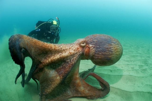 Нарушишь покой осьминога — жди