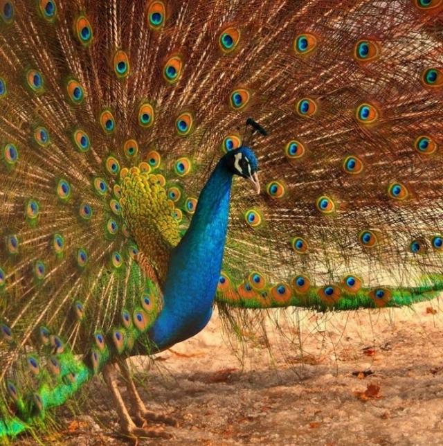 Шикарный хвост с десятками переливающихся пятен, синяя грудь и элегантный хохолок на голове - никого не оставят равнодушными.