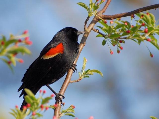 Птица коренастого телосложения с широкими плечами и крепким, но в то же время изящным острым клювом в форме конуса.