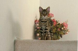 Котёнок породы Саванна фото