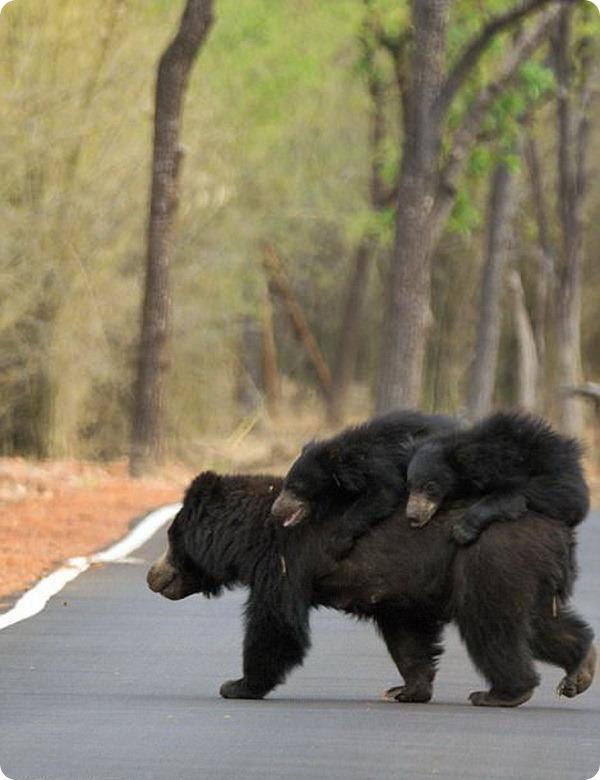 Медвежата прокатились на спине матери