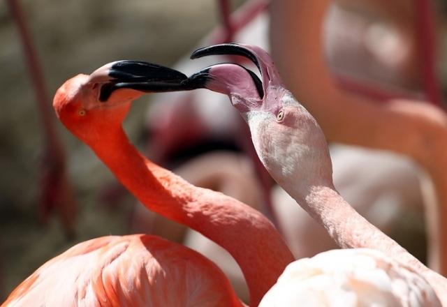 Розовый фламинго, обитатель зоопарка Хеллабрунн, расположенного неподалеку от Мюнхена, Германия.