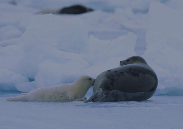 Тюлень - отличный подводный охотник.