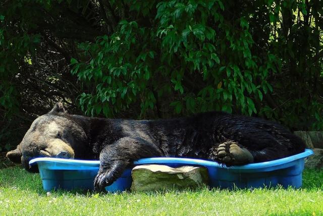 Американка обрадовалась медведю, уснувшему в ее бассейне.Вокруг Света. Украина