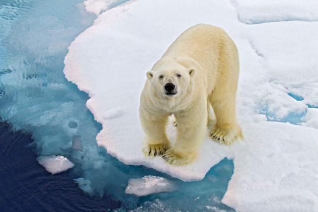 Белый медведь (Ursus maritimus).